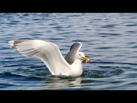 Hungry Much?! Seagulls At It's Best: Catching Fish...somehow. [Etnefjord] [Norway] [HD]
