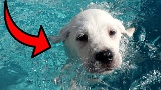 LABRADOR PUPPIES SWIM FOR THE FIRST TIME!!
