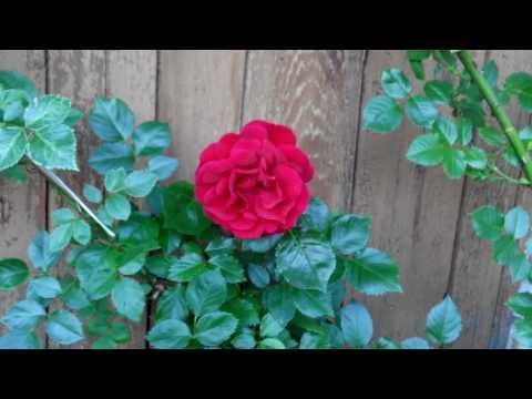 Уход за розами во время цветения.