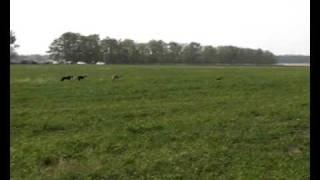 Охота на зайца с Английской борзой (Грейхаундом)