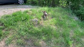 2 months Smooth fox terrier