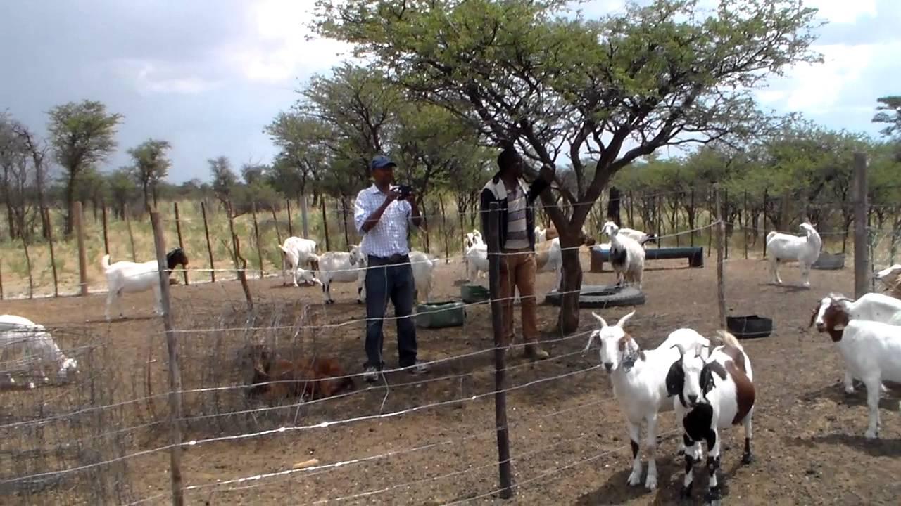 Tswana goat kraal in botswana