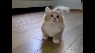 Смешной котенок с короткими лапами Funny Cat Game