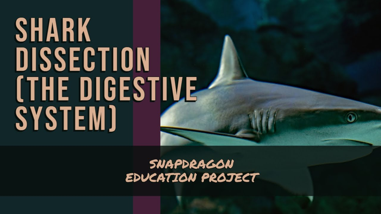 THE SHARK DIGESTIVE SYSTEM - YouTube
