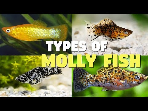 Top 12 Types Of Molly Fish