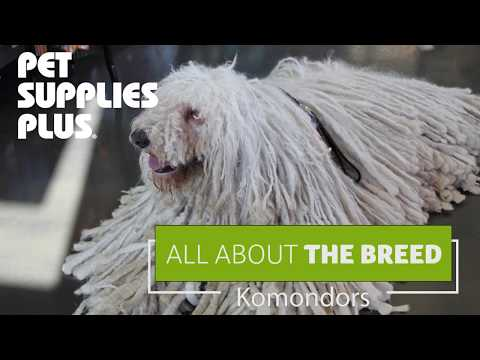 All About The Breed - Komondors