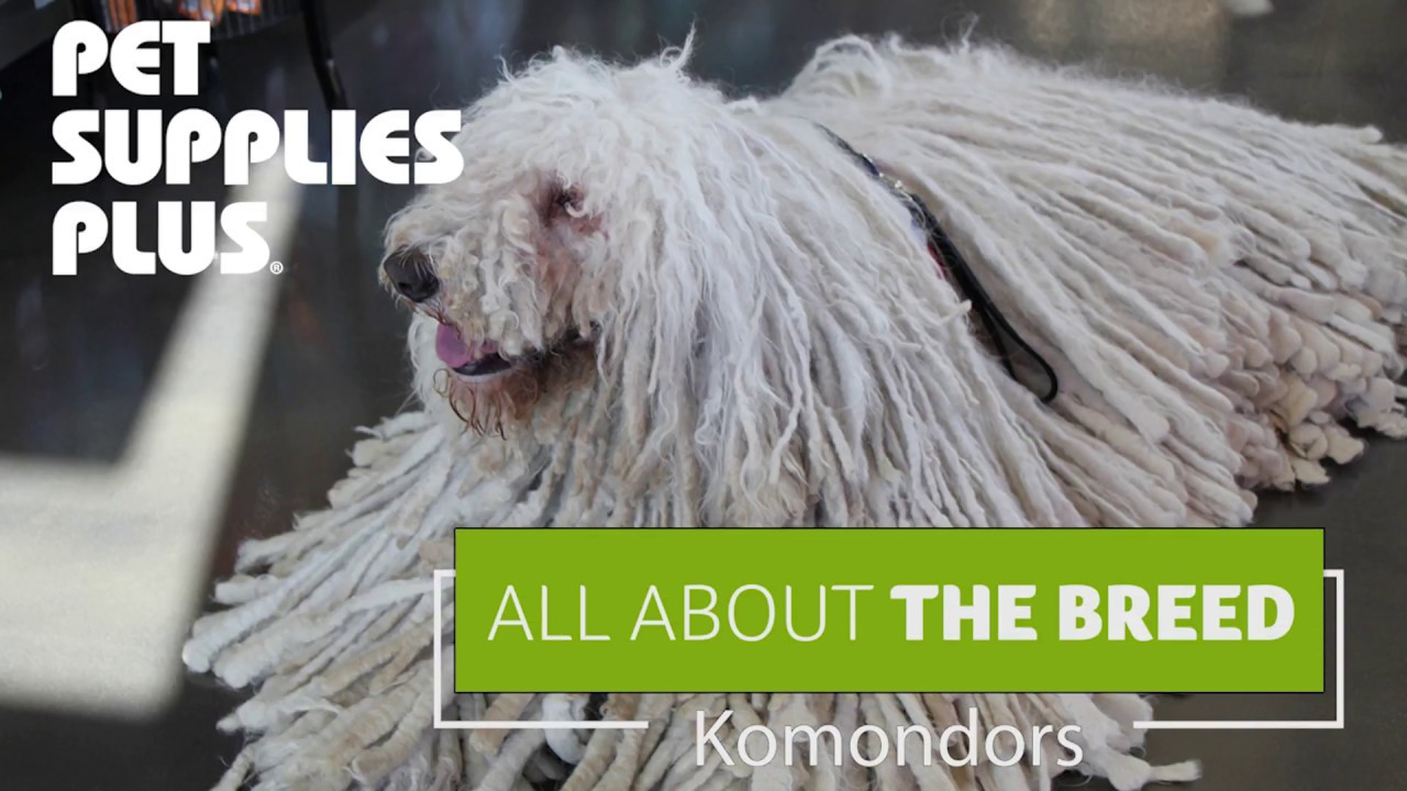 All About The Breed Komondors Youtube
