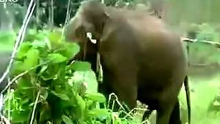 Repeat youtube video Elephants Apareandro Mating Animals