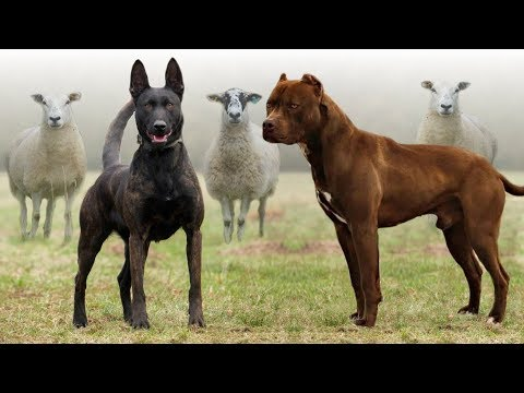 These Are 10 Best Farm Dog Breeds