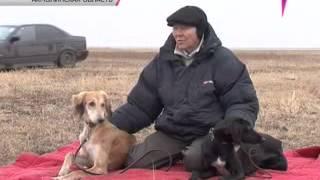 Полевые испытания казахских борзых - тазы