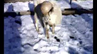 Наркоманы и козёл(животное)