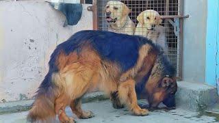 "The king my long hair German shepherd dog ""JOKER"" LABRADORS ARE AWESOME Doggyz World"