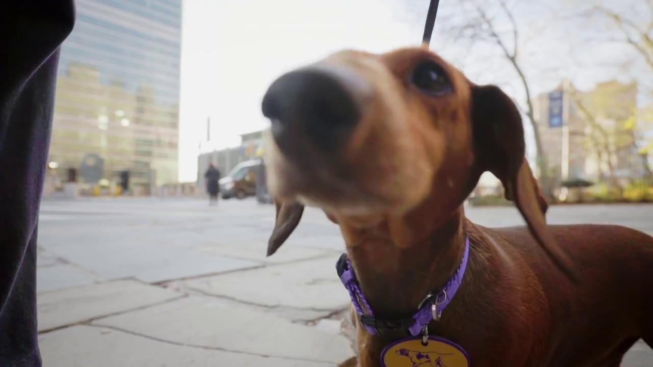 Westminster Dog Show Dachshund