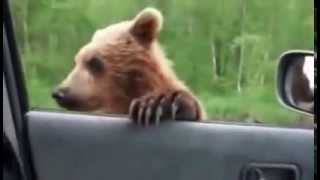 Un urs rupt de foame iese la cersit mancare pe autostrada