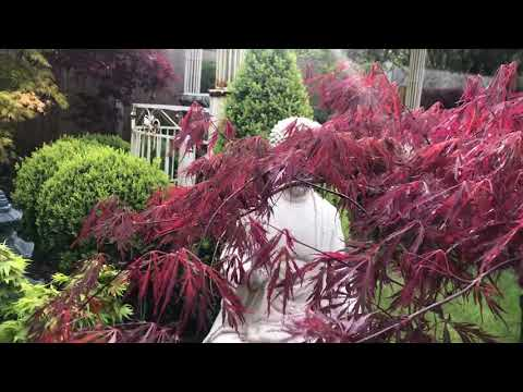 Japanese Acer Crimson Queen, Potted For 10 Years.