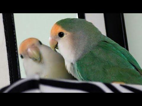 تغريد طيور الروز Youtube