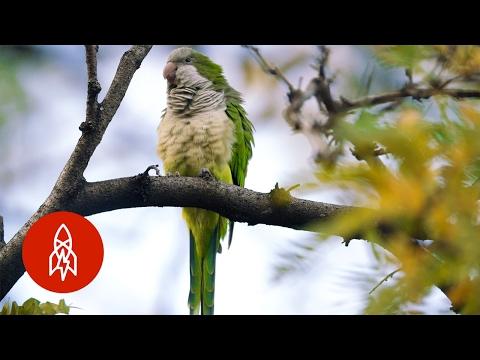 See Brooklyn's Wild Parrots