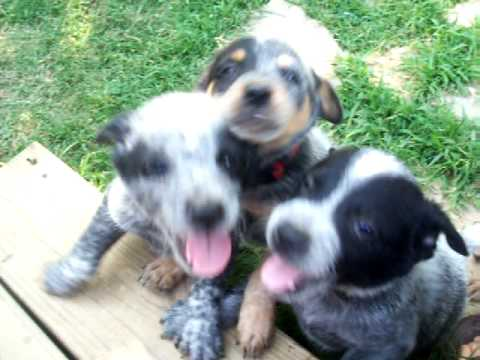 Australian Cattle Dogs/Blue Heeler Puppies Video 3