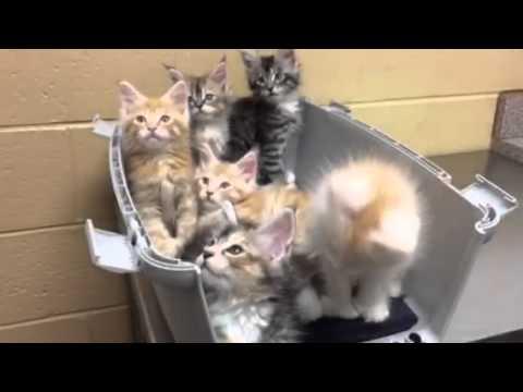 RAVENWOLF'S WOLFPACK - MAINE COON KITTENS