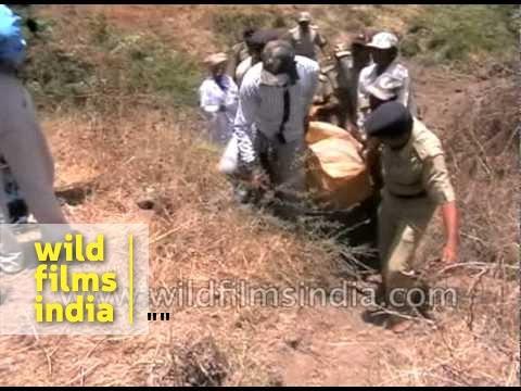 Lion found dead in Amreli - Gujarat