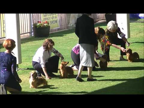 Long Haired Miniature Dachshund Sydney Royal Dog Show 2019