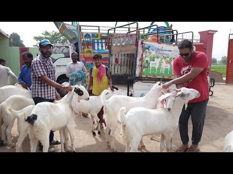 Repeat Karachi bakriyan sale ho gayi hai 03410341995 by گوٹ