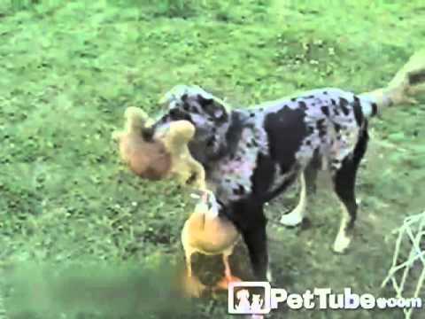 Duck Shadows the Dog- PetTube