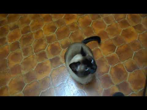 Siamese Cat Ripley....every morning...Ripley+ Java are quiet Cats, unless it's about breakfast ;.)
