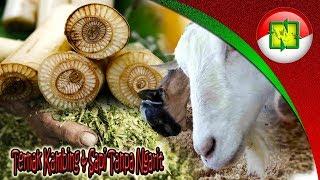 WASPADA RESIKONYA ! Fermentasi Pakan Ternak Pada Penggemukan Kambing Dan Sapi Cepat Besar