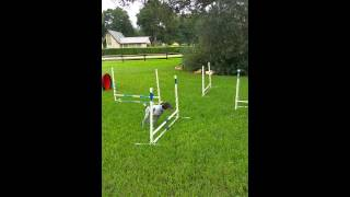 3 Month Old Gsp  Josee Learning Agility.