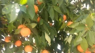 C vitamini deposu portakal ağacı portakal meyvesinin faydaları yararları nelerdir