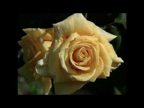 Roses for Valentine's Day: Burt Wolf Travels & Traditions
