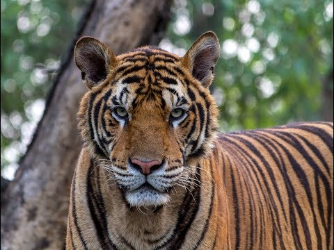 Kanha. Land of the Tiger | Full Documentary