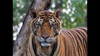 Kanha. Land of the Tiger | Full Documentary