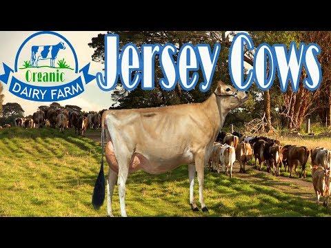 Jersey Cows Organic Dairy Farm