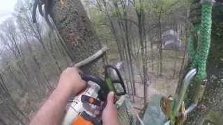 Tulip poplar removal (climber