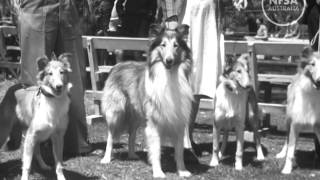 Canberra Dog Fanciers Parade Their Pets. Australian Diary 33
