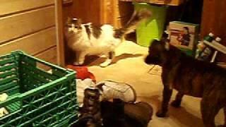 Staffordshire Bull Terrier Puppy Staffie 4 Months Staff