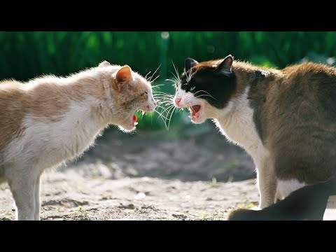 Close up video of angry & amazing cats fighting - Very loud cat fight meowing sounds