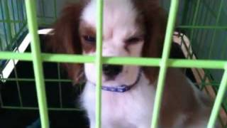 Willy The Cavalier King Charles Spaniel In His Crate