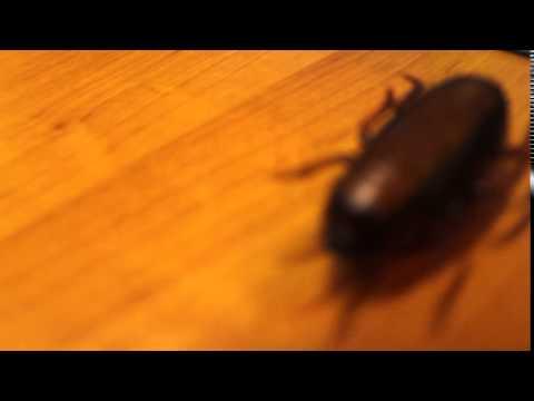 Китайский таракан
