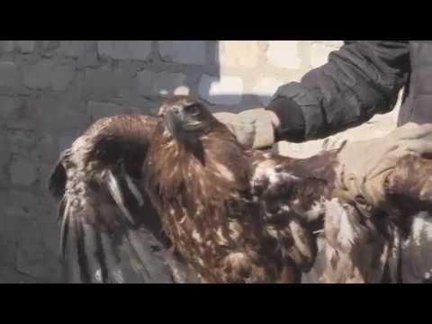 Спасли степного орла