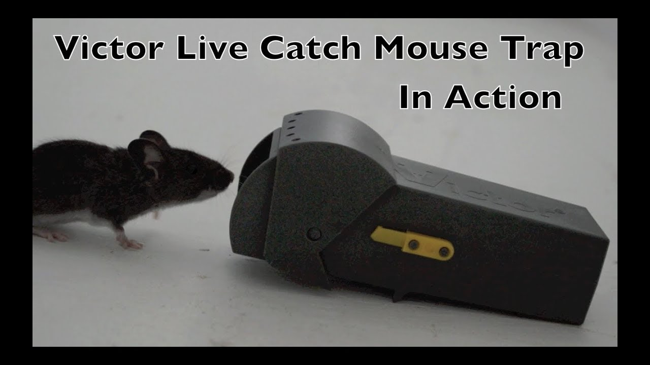 5e279231114 Victor Live Catch Mouse Trap In Action - Full Review - Not Good ...