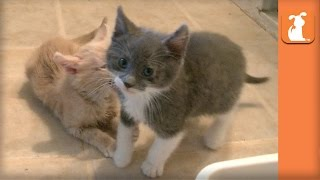 The Ultimate Kitten Fight!  Kitten Love