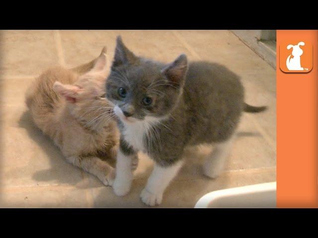 The Ultimate Kitten Fight! - Kitten Love