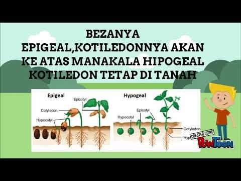 Percambahan Biji Benih Beza Epigeal Dan Hipogeal Sains Tingkatan 1 Bab 4 Youtube