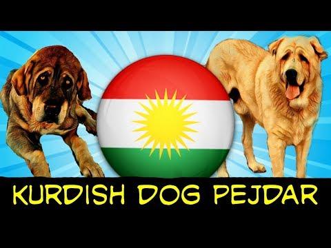 Kurdish Dog Original Breed Of Kurdistan