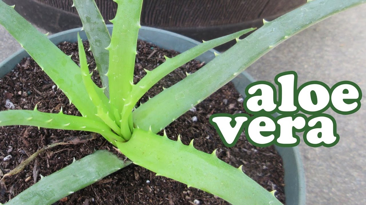 Aloe vera plant accident propagate aloe vera through leaf cutting youtube for A gardener is planting two types of trees
