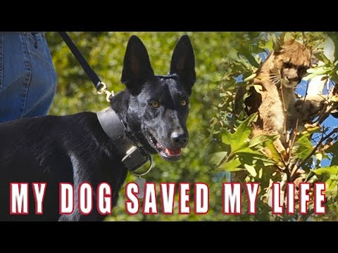 MY DOG SAVED MY LIFE... SHOCKING BATTLE BELGIAN MALINOIS VS. MOUNTAIN LION