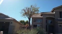 Ash Tree Ash White Fly Chandler AZ Warner's Tree Surgery 480 969 8808 11202017